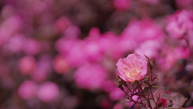 春バラ5-3