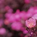 写真: 春バラ5-3