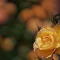 写真: 春バラ5-4