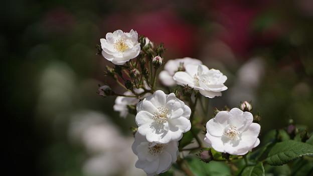 春バラ6-3