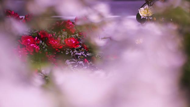 春バラ6-4