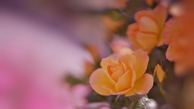 春バラ7-2