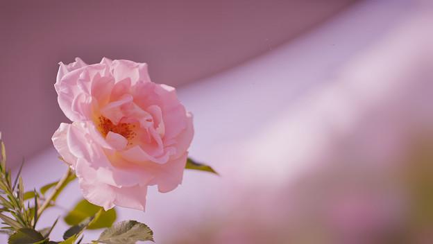 春バラ7-4