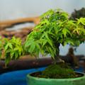 写真: 小品盆栽展3-2