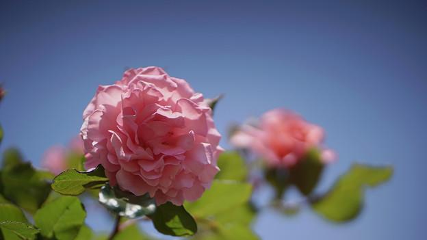 春バラ8-2