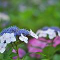 紫陽花3-6