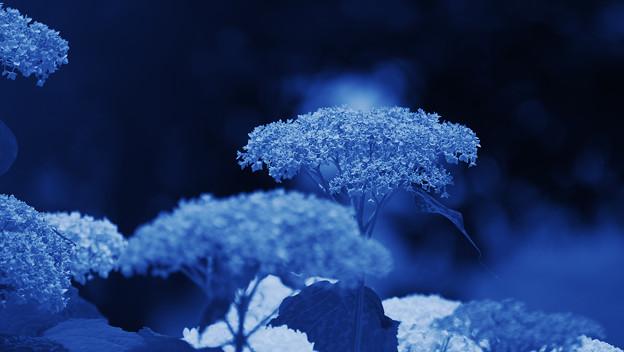 写真: 紫陽花4-1