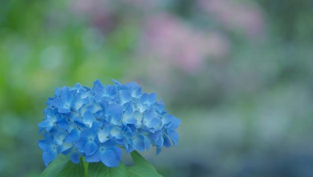 紫陽花4-5