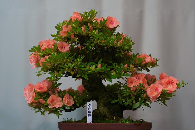 サツキ盆栽展2-2