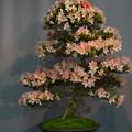 サツキ盆栽展2-3