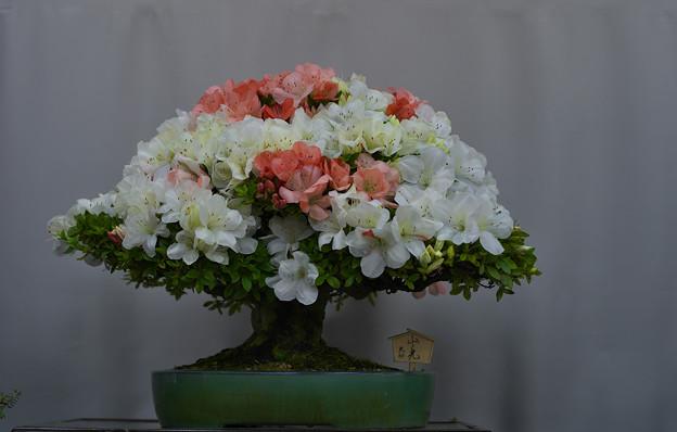 サツキ盆栽展2-7