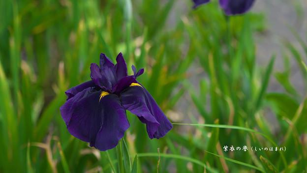 Photos: 花菖蒲3-2(紫衣の誉)