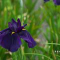 写真: 花菖蒲3-2(紫衣の誉)