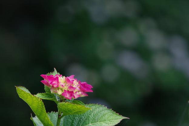 写真: 紫陽花5-2