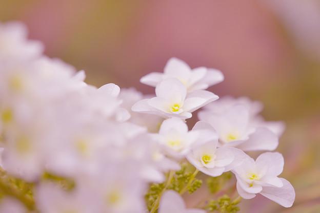 写真: 紫陽花5-3