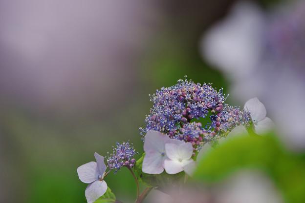 紫陽花5-6