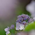 写真: 紫陽花5-6