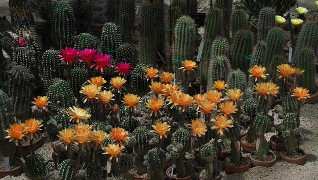 サボテンの花19-2