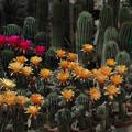写真: サボテンの花19-2