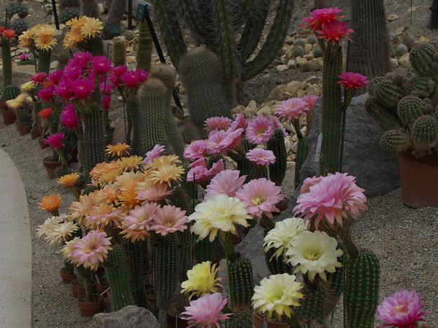 サボテンの花19-5