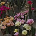 写真: サボテンの花19-5