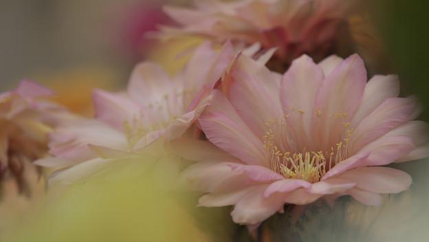 サボテンの花19-6