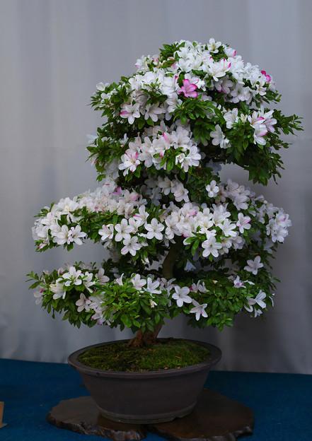 サツキ盆栽展3-5