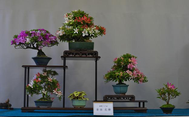 サツキ盆栽展3-6