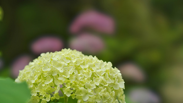 写真: 紫陽花6-3