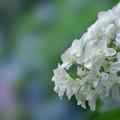 写真: 紫陽花6-6