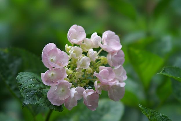 紫陽花6-7