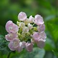 写真: 紫陽花6-7