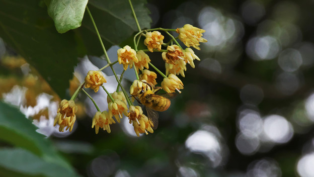 水無月の花_4 菩提樹