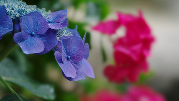 紫陽花9-2