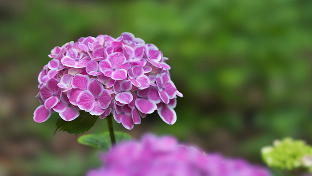紫陽花9-3