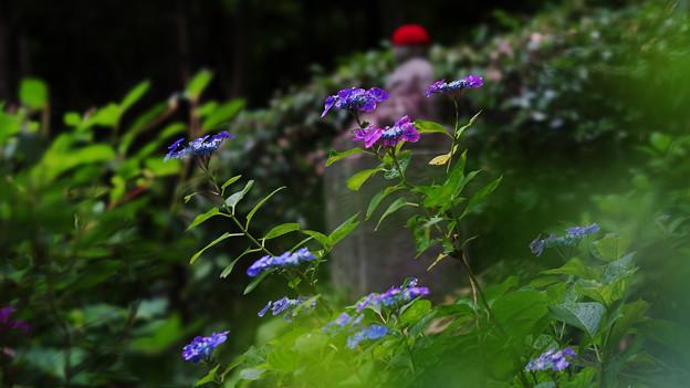 紫陽花10-1