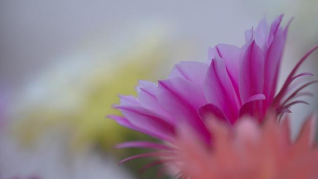 サボテンの花20-1