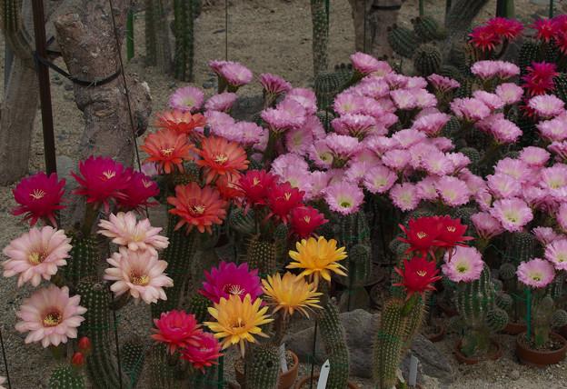 サボテンの花20-5