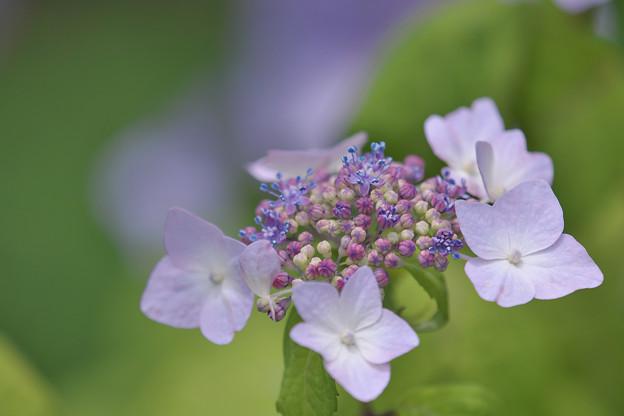 Photos: 紫陽花11-1