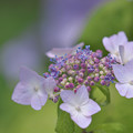 写真: 紫陽花11-1