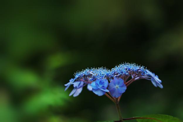 紫陽花11-2