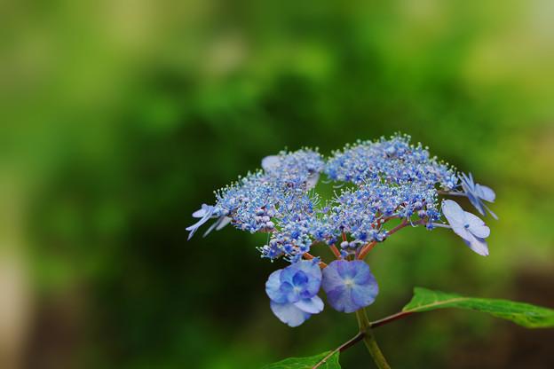 紫陽花11-3