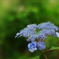 写真: 紫陽花11-3