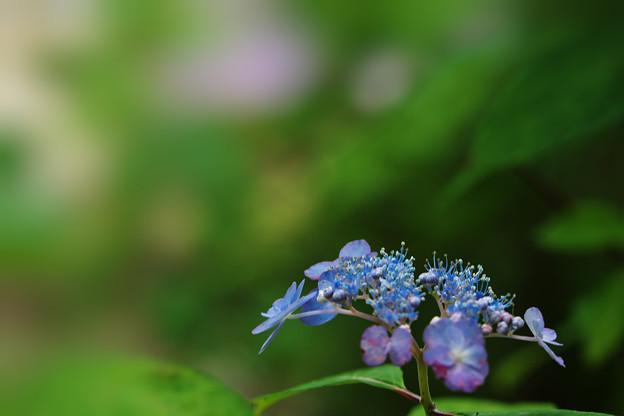 紫陽花11-4