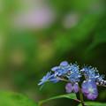 写真: 紫陽花11-4