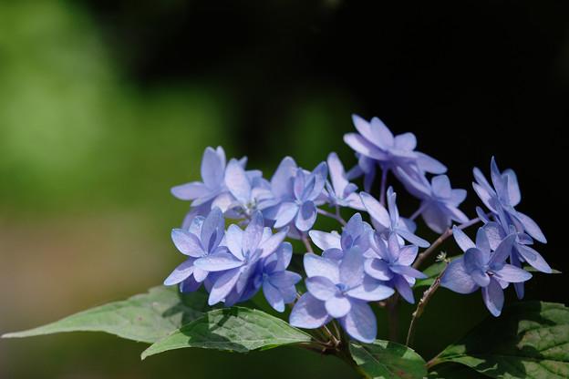 紫陽花11-5