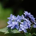 写真: 紫陽花11-5
