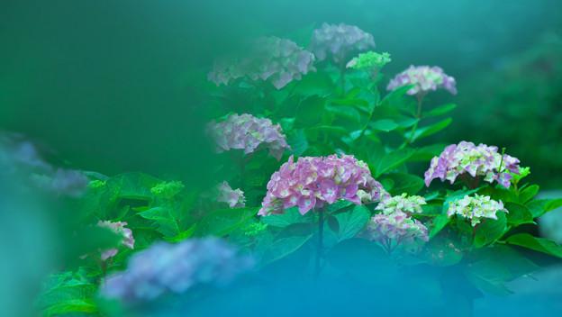 紫陽花13-1