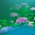 写真: 紫陽花13-1