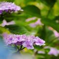 写真: 紫陽花13-2